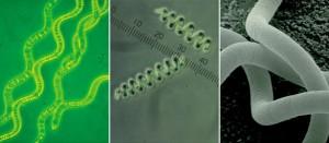 La spiruline est une source exceptionnelle de caroténoïdes